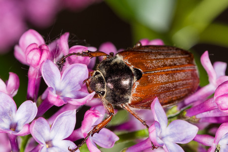Cockchafer (Melolontha Scarabaeidae) in natural environment crawling on purple flowers.