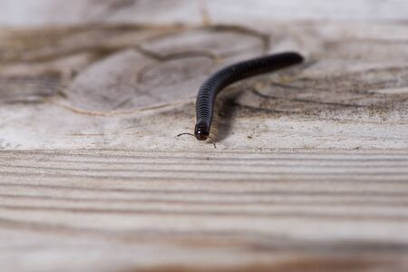 Millipede crawling on a wooden plank.