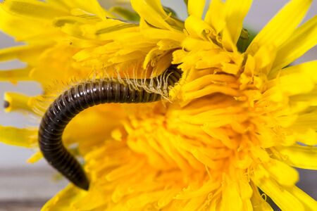 Millipede crawling on the blossom of a dandelion.