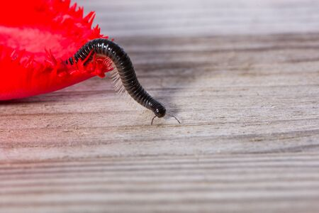 Millipede crawling on the leaf of a tulip.