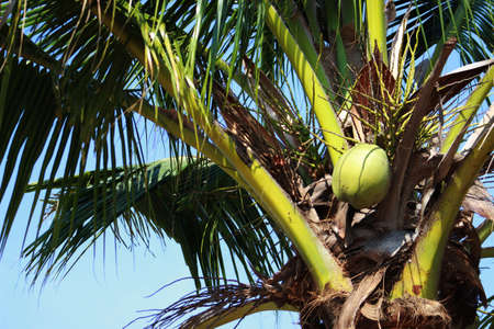 palm lined: coconut the large, oval, brown seed of a tropical palm, consisting of a hard shell lined with edible white flesh and containing a clear liquid. It grows inside a woody husk, surrounded by fiber.