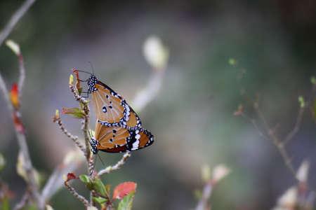relaciones sexuales: criadores de mariposas son dos ramas diferentes. Para centrarse en la mariposa para ver la acción con claridad.
