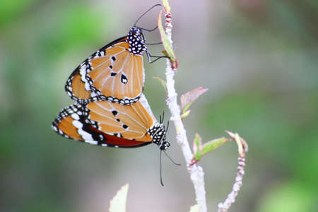 Butterfly breeders are two different branches. To focus on the butterfly to see the action clearly.