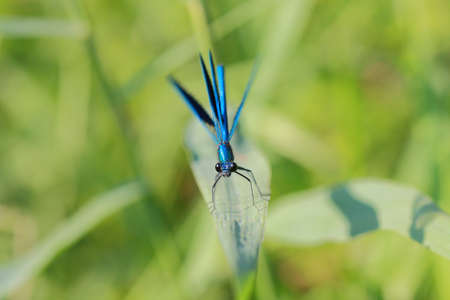 dropwing: violet dragonfly in summer day