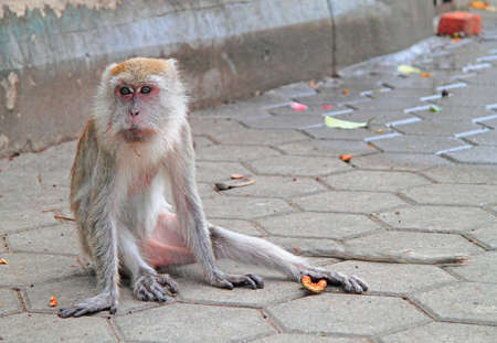 furry: old furry macaque is sitting on asphalt, Batu caves