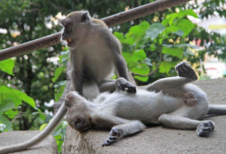 competitiveness: two macaques are resting on the steps, Batu caves, Kuala Lumpur