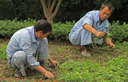 grassy plot: Shanghai, China - July 1, 2015: two worker are weeding lawn in public garden of Shanghai