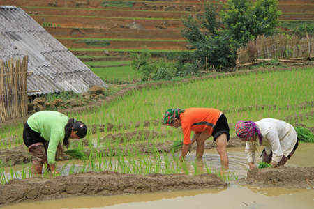 pa: Sa Pa, Vietnam - June 6, 2015: people are harvesting the paddy field Stock Photo