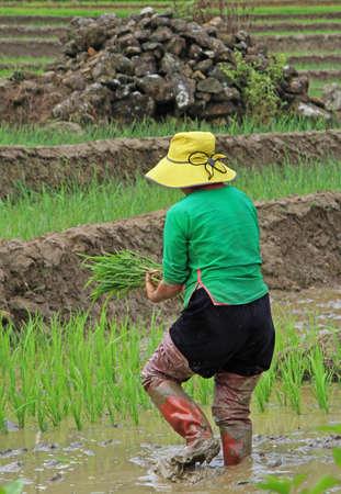 pa: woman harvest the paddy field, Sa Pa, Vietnam Stock Photo