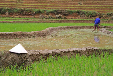 conical hat: the asian conical hat against the background of paddy field, Vietnam