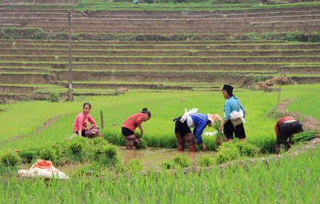 pa: Sa Pa, Vietnam - June 6, 2015: people are harvesting the paddy field in village CatCat, Vietnam Editorial