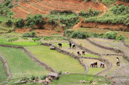 sa: people are cultivate the paddy field, Sa Pa, Vietnam