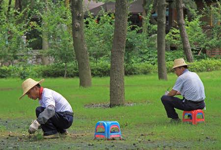wuhan: Wuhan, China - June 23, 2015: two worker are weeding lawn in public garden of Wuhan