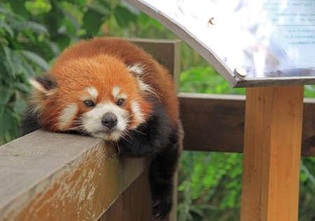 catlike: Red panda in park of Chengdu, China Stock Photo