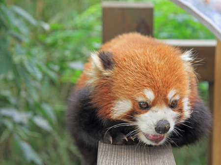 Red panda in park of Chengdu, China Stock Photo