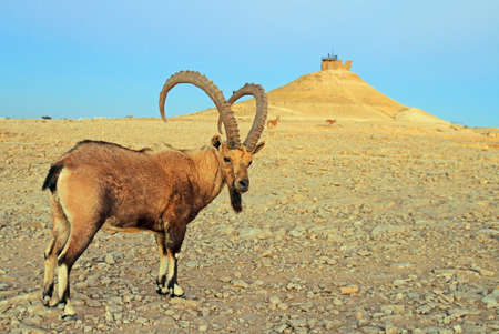 ibex at Ramon Crater in the Negev desert, Israel Stock Photo