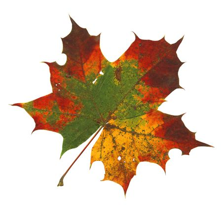 alder: colorful autumn leaf isolated with path on white background