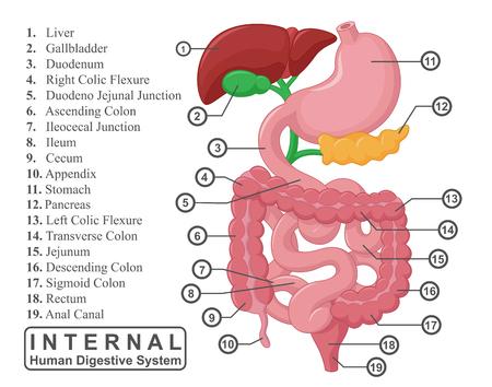 intestino grueso: La parte del sistema digestivo humano interno Ilustración