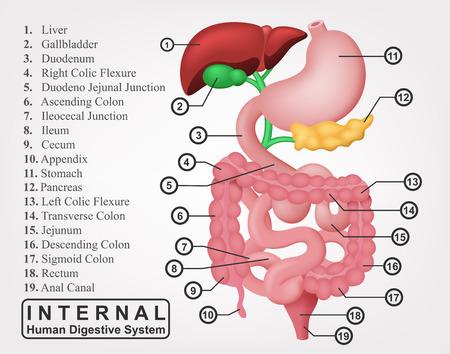 Het deel van de interne Human Spijsverteringssysteem Illustratie Stock Illustratie