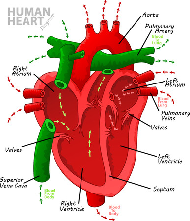 aortic valve: Human heart diagram anatomy Illustration
