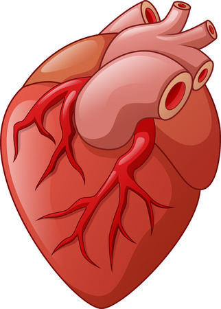 heart organ: Human heart cartoon illustration