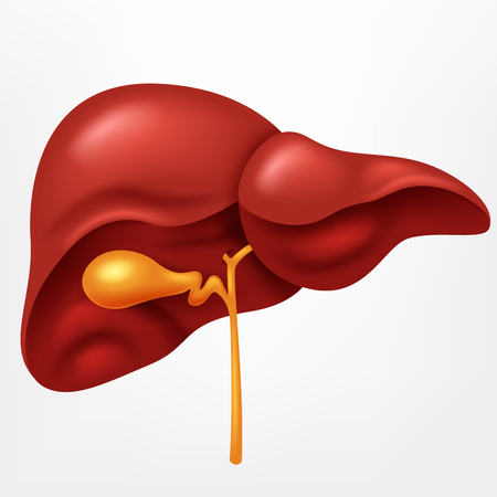 Human liver in digestive system illustration