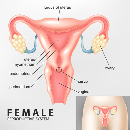 woman vagina: Diagram of Female reproductive system