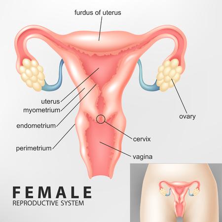 ovaire: Sch�ma du syst�me reproducteur f�minin