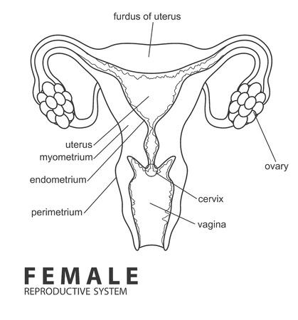 sistema reproductor femenino: Sistema reproductivo femenino Vectores