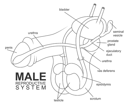 reproductive system: Male reproductive system