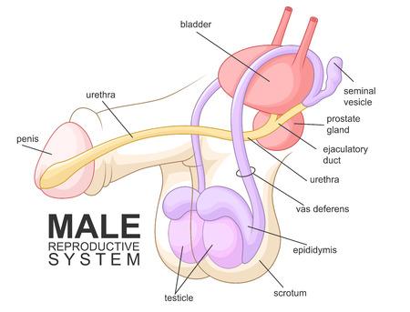 Männlichen Geschlechtsorgane Standard-Bild - 46754677