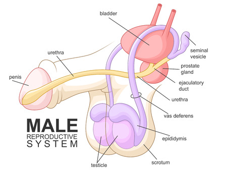 Sistema riproduttivo maschile Archivio Fotografico - 46754677
