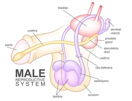 Männliche Geschlechtsorgane Vektor-Diagramm Auf Weißem Hintergrund ...
