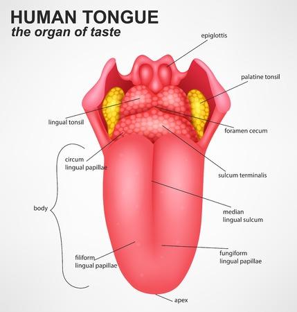 Anatomía De La Lengua Humana, Sabores Básicos Ilustraciones ...