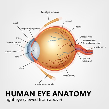 Human eye anatomy, right eye viewed from above Illustration