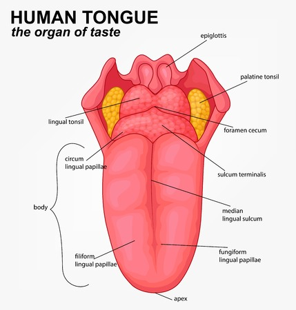lingual: Human tongue structure cartoon Illustration