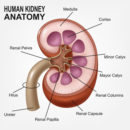 Riñón Anatomía Sección Transversal Infografía Diagrama Incluyendo ...