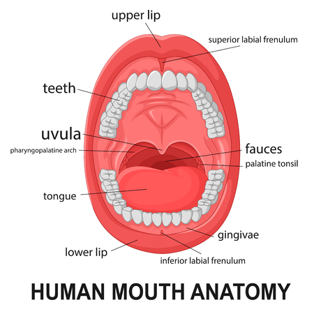 Human mouth anatomy, open mouth with explaining 版權商用圖片 - 54767629