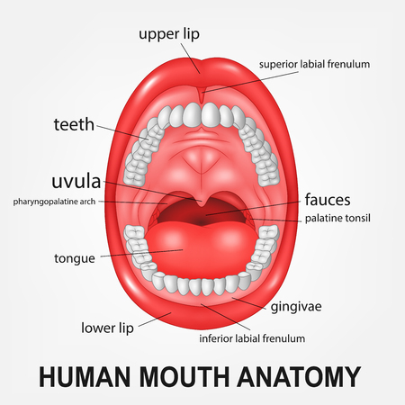 Human Mouth Anatomy, Open Mouth With Explaining Royalty Free ...