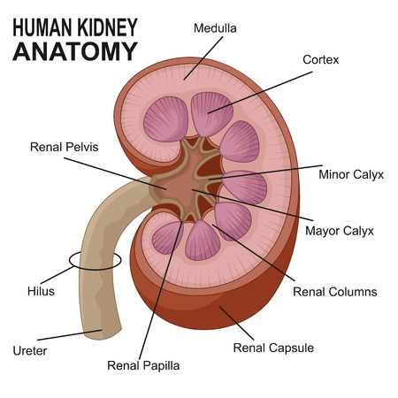 Kidney Anatomy Cross Section Infographic Diagram Including All