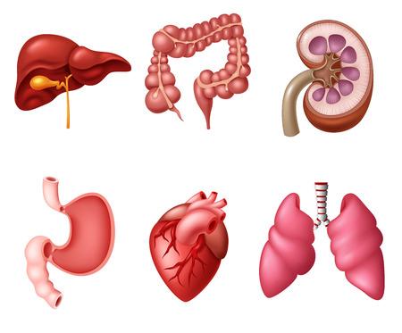 glands: Internal Human Digestive System sets