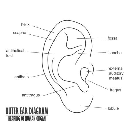 Outer Ear Diagram hearing of human organ