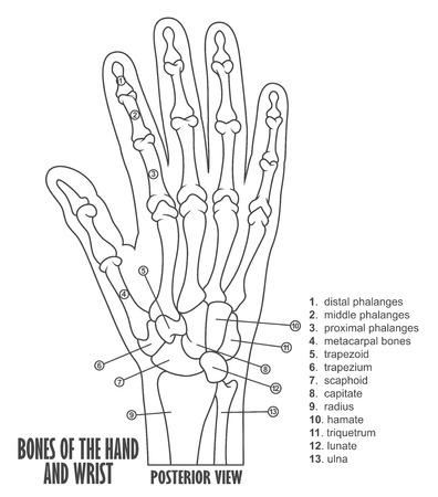 distal: Huesos de la anatomía de la mano y la muñeca Vectores