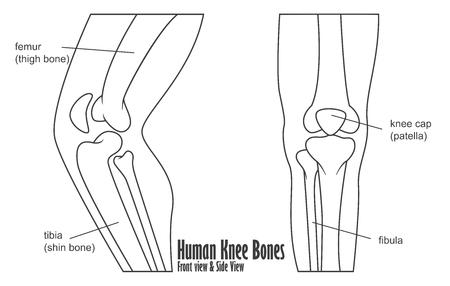 VEKTOR - Kniegelenk Vorder- Und Rückansicht Knochen Femur Tibia ...