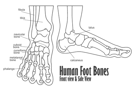 Human foot bones front and side view anatomy
