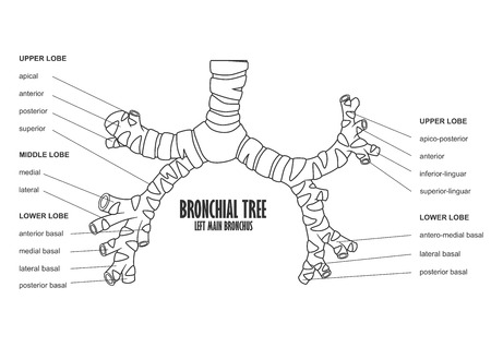 Bronchial Tree Left Main Bronchus Human Anatomy Royalty Free ...