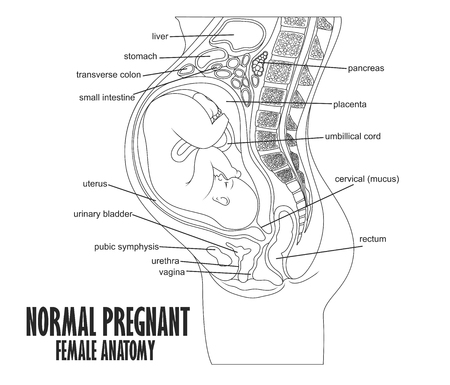 transverse: Normal Pregnant female anatomy