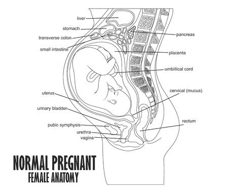Normale anatomie féminine enceinte