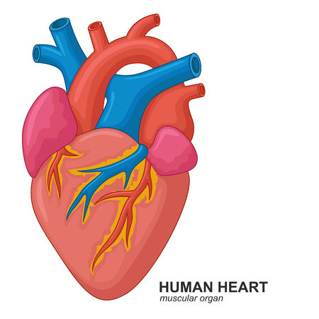 superior vena cava: Human heart cartoon