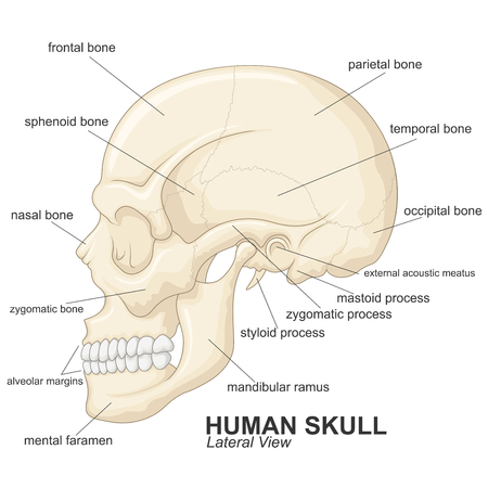 occipital: Human skull lateral view with explanation